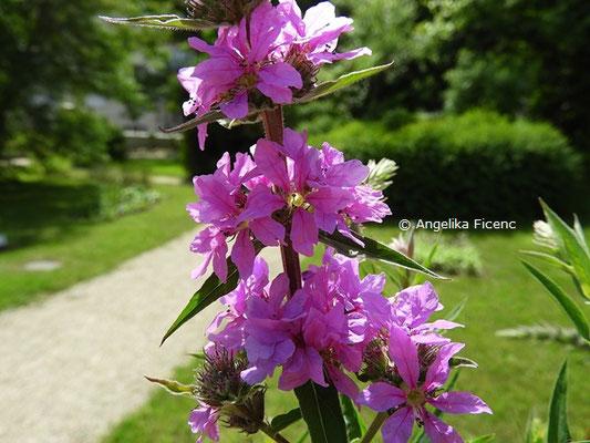 Lythrum salicaria L.   © Mag. Angelika Ficenc