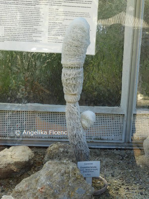 Epostoa lanata  © Mag. Angelika Ficenc