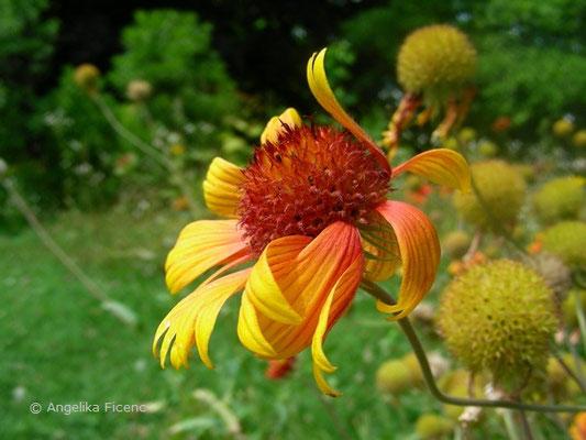 Gaillardia drummondii - Kokardenblume  © Mag. Angelika Ficenc