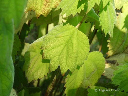 Boehmeria platanifolia - Böhmeria