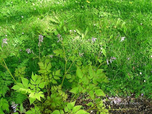 Corydalis temulifolia - Lerchensporn  © Mag. Angelika Ficenc