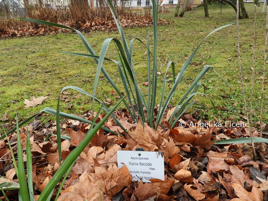 Beschoneria yuccoides © Mag. Angelika Ficenc