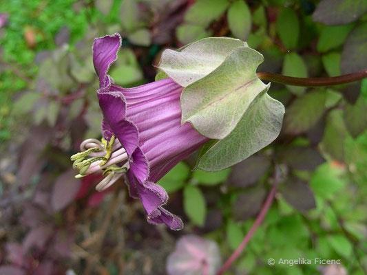 Cobea scandens - Glockenrebe, Blüte Seitenansicht