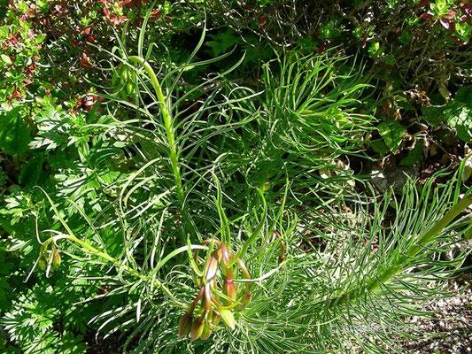 Lilium pomponium - Seealpen Lilie