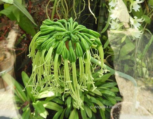 Eucrosia irabilis, Blütenstand   © Mag. Angelika Ficenc