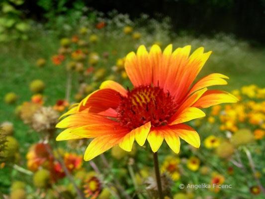 Gaillardia drummondii - Kokardenblume, Blüte Seitenansicht