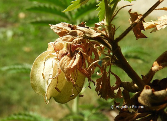 Melianthus comosus   © Mag. Angelika Ficenc