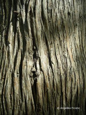 Platycladus orientalis (Thuja orientalis) - Stamm, Borke