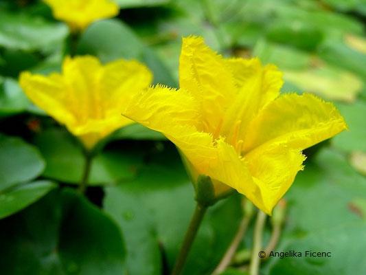 ymphoides peltata - Heimische Seekanne  © Mag. Angelika Ficenc