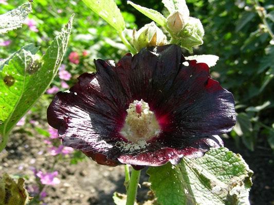 Alcea rosea - Schwarze Pappelrose