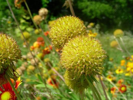 Gaillardia drummondii - Kokardenblume, Fruchtstand, beginnende Reife