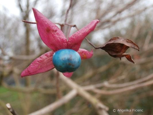 Clerodendrum trichotumum - Japanischer Losstrauch, Frucht