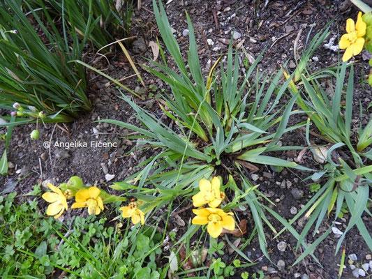 Sisyrinchium macrocarpum, Habitus  © Mag. Angelika Ficenc