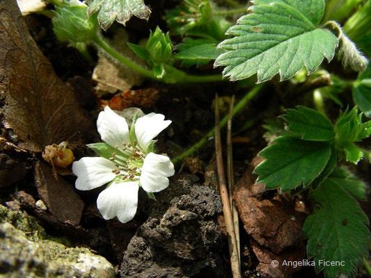 Potentilla sterilis - Erdbeer Fingerkraut  © Mag. Angelika Ficenc