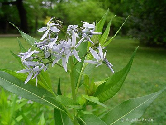 Amsonia angustifolia - Amsonie, Blütenstand