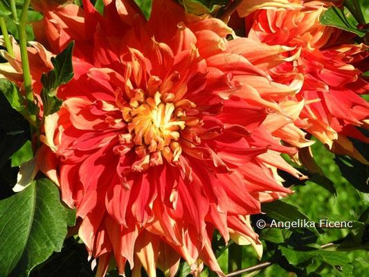 "Dahlia ""Autumn Sunburst""   © Mag. Angelika Ficenc"