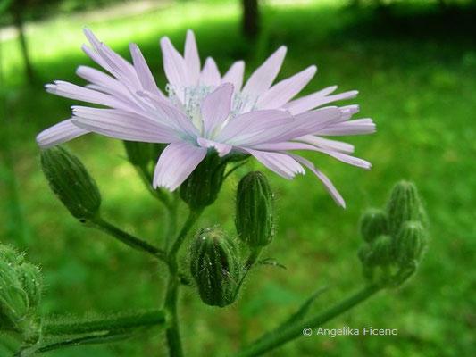 Cicerbita macrophyllum - Großblättriger Milchlattich, Knospen