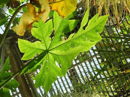 Carica papaya - Melonenbaum, Blatt