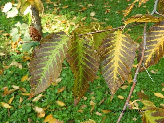 Betula alleghaniensis, Herbstfärbung  © Mag. Angelika Ficenc
