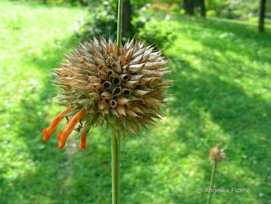 Leonotos nepetifolia - Schmalblättriges Löwenohr, Fruchtstand