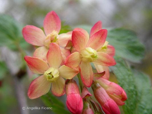 Ribes x gordonianum  © Mag. Angelika Ficenc