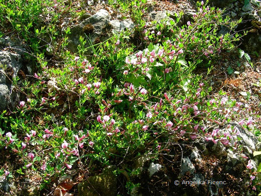 Chamaecyticus purpureus - Purpur Ginster   © Mag. Angelika Ficenc
