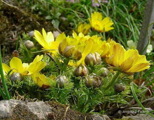 Adonis vernalis - Frühlings-Adonisröschen