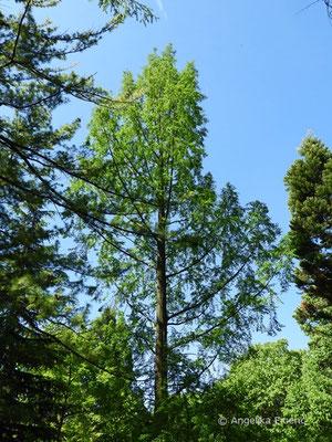 Metasequoia glyptostroboides - Chinesisches Rotholz  © Mag. Angelika Ficenc