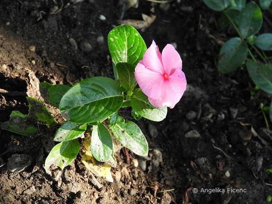 Catharanthus roseus - Rosafarbenes Zimmerimmergrün