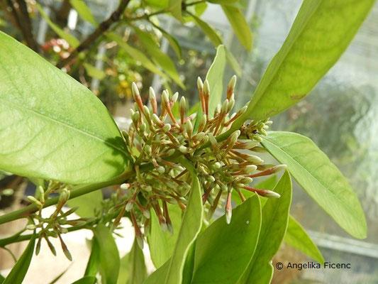 Acokanthera oblongifolia - Wachsbaum, Blütenstand mit Knospen