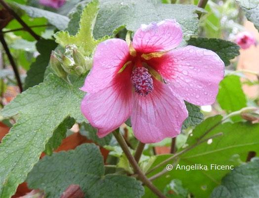 Anisdothea sp. © Mag. Angelika Ficenc