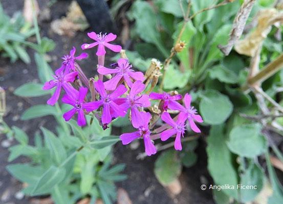 Silene mexicana, Blütenstand