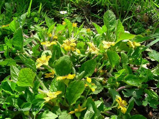 Chrysogonum virginianum - Goldkörbchen