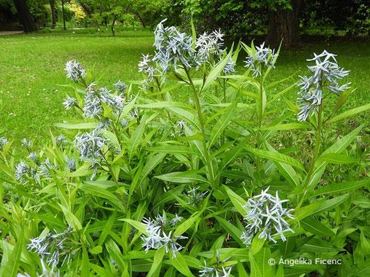 Amsonia illustris - Helle Amsonie, Blütenstände  © Mag. Angelika Ficenc