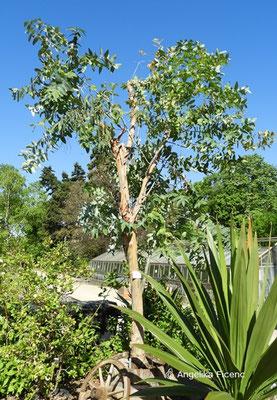 Eucalyptus globulus - Blaugummibaum,   © Mag. Angelika Ficenc