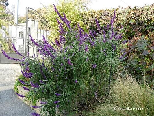 """Salvia leucantha """"Midnight"""" - Strauchiger Salbei, Habitus"""