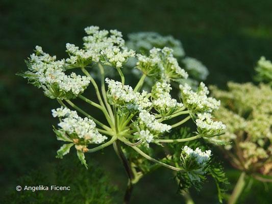 Selinum wallichianum - Kaschmirdolde, Blütendolde