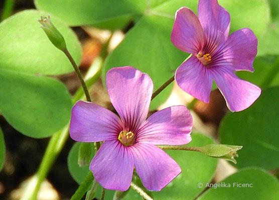 Oxales pink - Blüten
