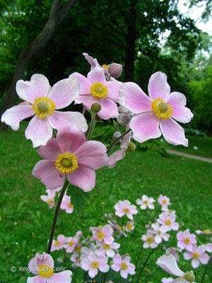 Anemone hupehensis, Blütenstand   © Mag. Angelika Ficenc