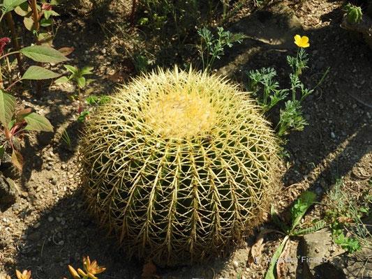 Echinocactus grusonii - Schwiegermuttersessel