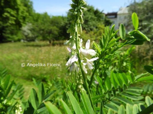 Galega officinalis © Mag. Angelika Ficenc