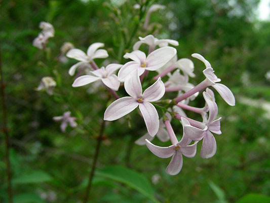 Syringa x persica ( S. vulgaris x S. lanciniata) - Balkan Flieder, © Mag. Angelika Ficenc
