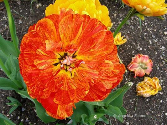 Tulipa Sun Lover  © Mag. Angelika Ficenc
