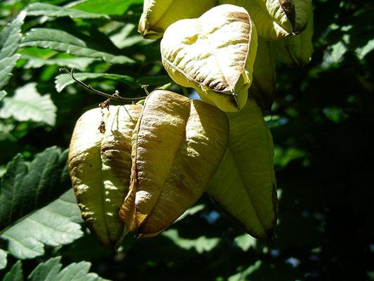 Koeleuteria paniculata - Rispiger Blasenbaum, reifende Früchte