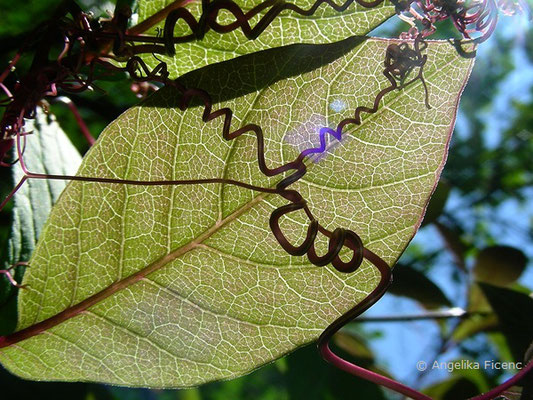 Cobea scandens - Glockenrebe, Lauabblatt