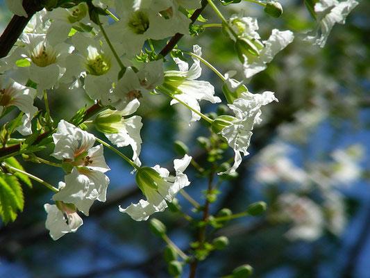 Xanthoceras sorbifolium - Gelbhorn