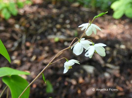 Epimedium diphyllum ssp. kitamuranum - Zweiblättrige Elefenblume, Blütenstand  © Mag. Angelika Ficenc