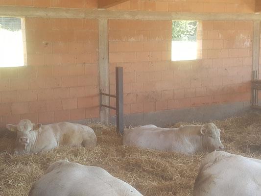 Unsere Jungbullen relaxen im großzügigen Strohoffenstall