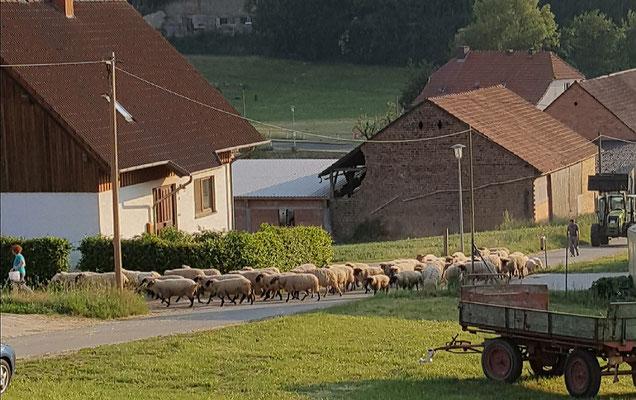 Eine Schafherde zieht zwischen Reitanlage und Sonnenhof vorbei