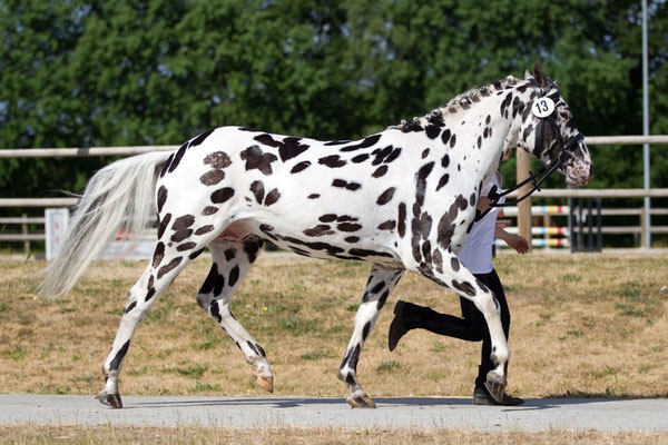 Appaloosa Old-Line | Appaloosa Old-Foundation | Appaloosa Sport Horse | By SIX C AppaloosaAppaloosa Old-Line | Appaloosa Old-Foundation | Appaloosa Sport Horse | By SIX C Appaloosa